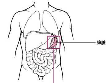 脾脏长在人体的哪个部位