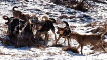 8条猎狗攻击一头野猪,不料反被凶狠的野猪秒杀!