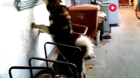 阿拉斯加发现有入侵者 大狗狗可不是吃素的