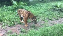 华南虎,这真是没几个动物园有了。东北虎常见(说难听点是便宜),哪儿都有,华南虎是真少见。 吃起草来还是个猫样。