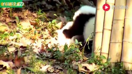 可爱搞笑小熊猫