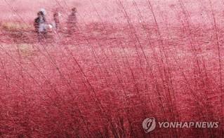 """韓國忠南公州: 一見芒草便識秋 """"粉色花海""""又霸屏-圖1"""