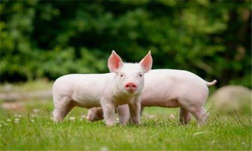 """最新消息, 2020年底豬價能否跌回15元/斤? 專傢說出""""實情""""-圖4"""