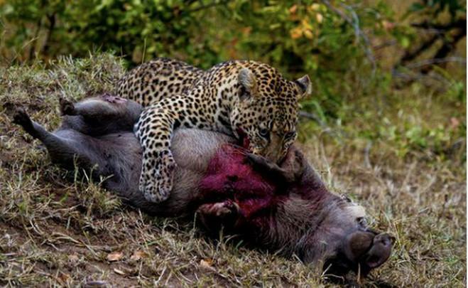 动物的生死时刻, 强者生存, 唯平头哥轻松灭蛇