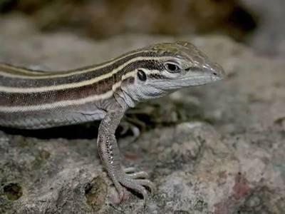 世界上速度最快的爬行动物, 只有雌性, 繁衍方式很奇葩!