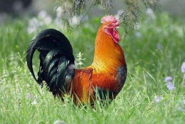 """10月27號一到, """"雞雞雞雞""""會遇見2個人, 是你一輩子的大貴人-圖2"""
