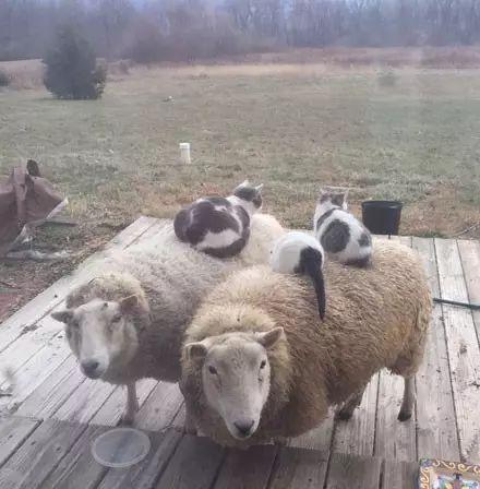 这猫跟农场里的羊们是好朋友, 每天暖暖的