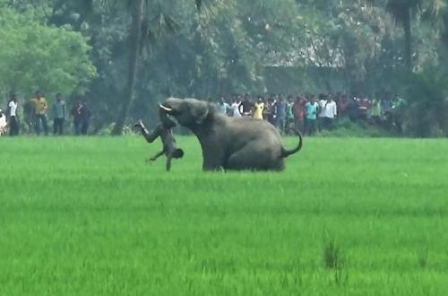 人类侵占动物栖居地 印度大象和老虎一天夺一人命