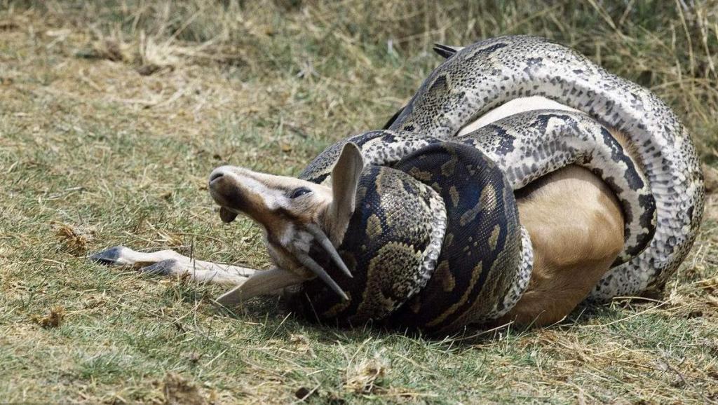 为什么7米长的蟒蛇,看到鬣狗立马掉头就走?原因说出来你都不信