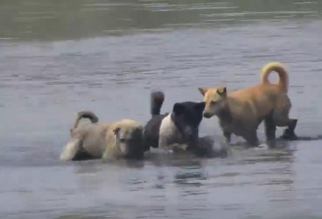 三只狗狗在水塘里追东西, 直到它们叼起一个大物主人大喜