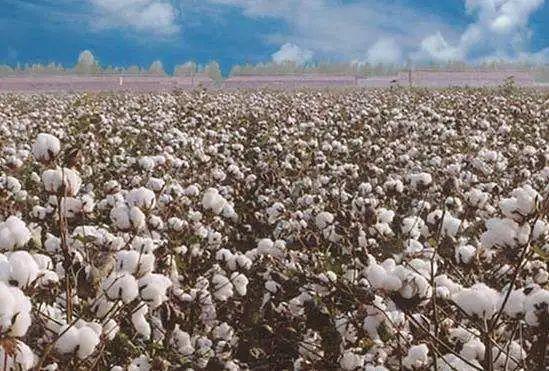 """澳貿易部長要求中國""""排除對澳大利亞棉花的任何歧視性行動""""-圖1"""