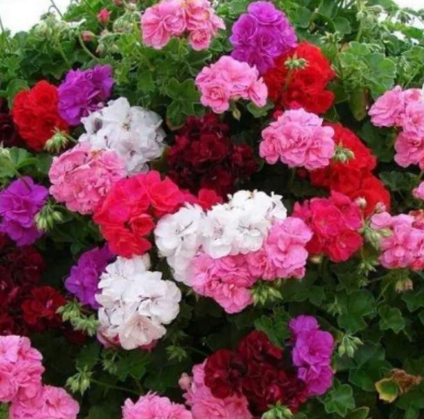 """養上4種""""有錢花"""", 花朵大、顏色艷, 一養就上癮, 抓緊養一盆-圖1"""