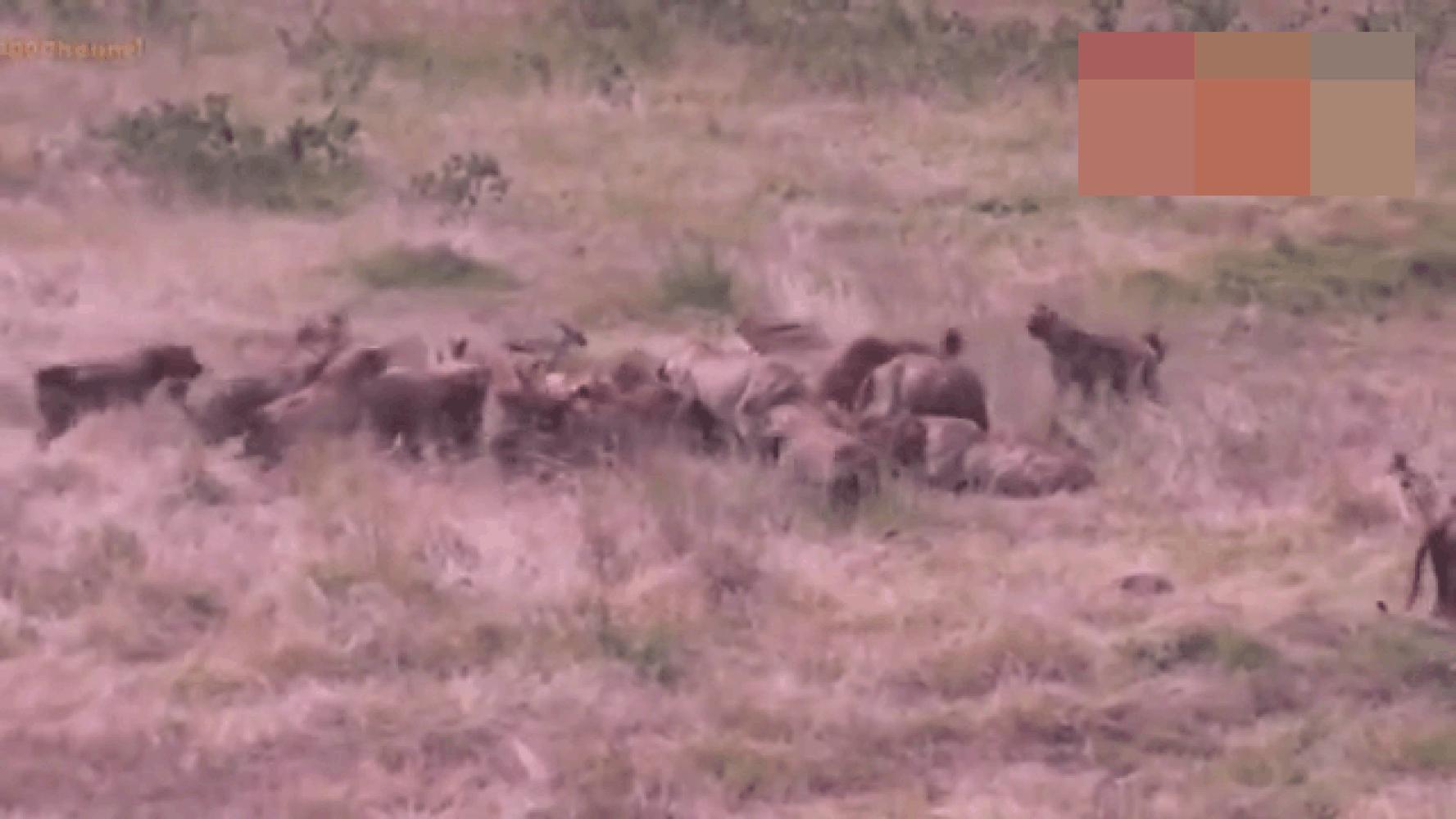 实拍: 鬣狗抢夺狮群猎物, 看到它一来, 鬣狗四散而逃